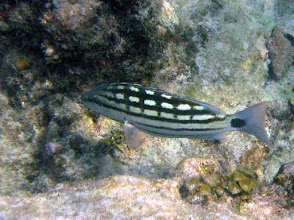 Photo: Checkered Snapper