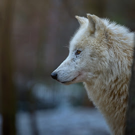 White wolf by Jiri Cetkovsky - Animals Other ( polar, wait, wolf, winter, wood )