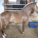Colombian criollo horse