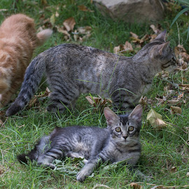 The Gang by Chris Seaton - Animals - Cats Playing ( feline, cats, mammals, garden, playing,  )
