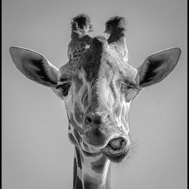 The Wink by Dave Lipchen - Black & White Animals ( giraffe )