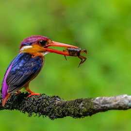 The Killing machine by Santanu Majumder - Animals Birds ( odkf, predator, birds with kill, birds, kingfisher )