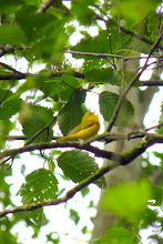 Photo: Yellow Warbler:  http://www.allaboutbirds.org/guide/yellow_warbler/id
