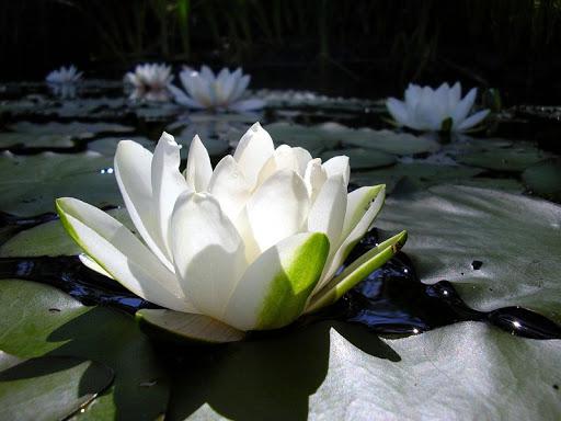 Plant Lotus Live Wallpaper