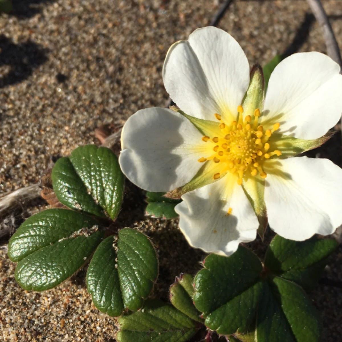 Beach Strawberry