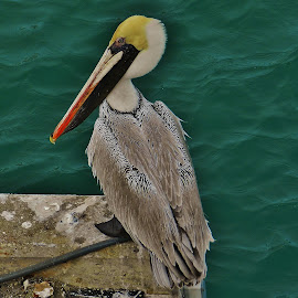 Brown Pelican At Fort Pierce 2019 by Matthew Beziat - Animals Birds ( brown pelican, saint lucie county, american birds, florida wildlife, fort pierce, treasure coast, american wildlife, florida birds,  )