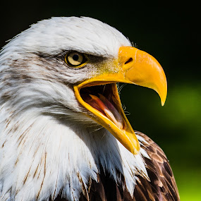 by Ralf  Harimau - Animals Birds ( bird, bird of prey, weisskopfseeadler, raubvogel, nk, vogel, white bald eagle )