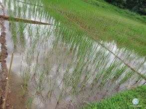 Photo: Influence of chemical & organic fertilizers on SRI cultivation, FPAR (Ban Khok, Uttaradit)