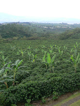 Photo: Plantation de café