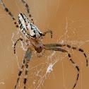 Enamelled Back Spider