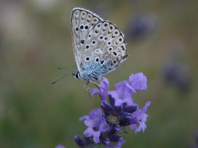 Farfalla di breizh
