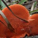Cinnabar-red Polypore
