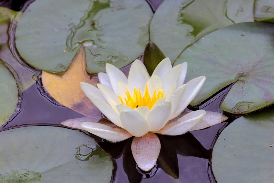 Water lily  by Rick Allardice - Nature Up Close Flowers - 2011-2013