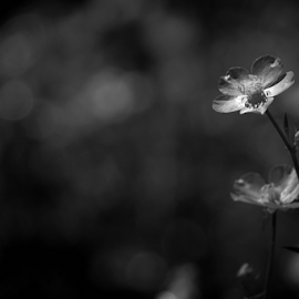 Buttercup  by Todd Reynolds - Black & White Flowers & Plants
