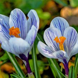 Twin crocuses by Radu Eftimie - Flowers Flowers in the Wild ( crocuses )