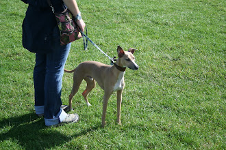 Photo: Gorgeous picture of the beautiful Blue Italian Greyhound/Whippet X.