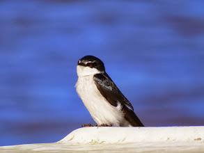 Photo: mangrove swallow