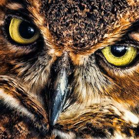 Yellow Eyes by George Bloise - Animals Birds ( bird, pwctaggedbirds-dq, great homed owl, florida, eyes )
