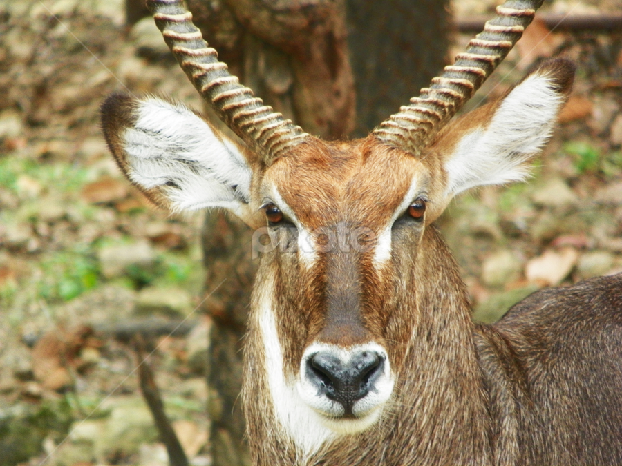 Here's Looking at You, Kid by Gaia's Love - Animals Other Mammals ( staring, park, zoo, thailand, intense, deer )