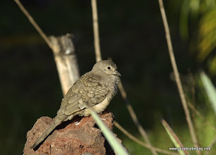 Photo: Inca Dove, Puerto Vallarta Botanical Gardens