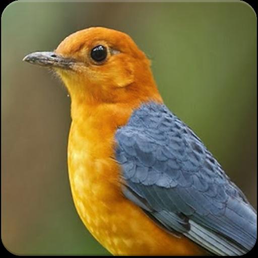 About Suara Burung Anis Merah Juara Masteran Anis Merah Google Play Version Suara Burung Anis Google Play Apptopia