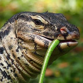 Monitor Lizard by Dedi Sukardi - Animals Reptiles ( lizard, reptile, animal )