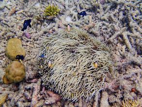 Photo: Amphiprion clarkii (Clark's Clownfish) with Heteractis crispa (Sebae Anemone), Entatula Island Beach Club reef, Palawan, Philippines.