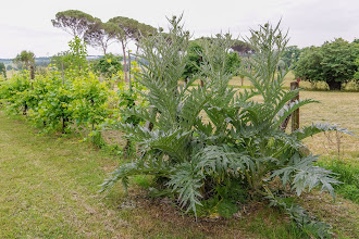 Photo: Rampant artichokes (or so Sperello claimed) next the grape vines
