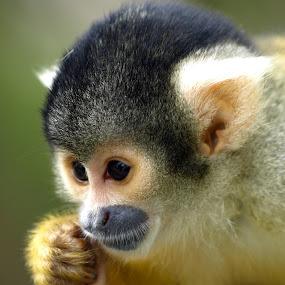 by Steen Hovmand Lassen - Animals Other Mammals ( hand, ears, squirrel, monkey, portrait, eyes )