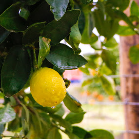 Lemon by João Pedro Ferreira Simões - Nature Up Close Gardens & Produce ( tree, green, yellow, water drop, lemon )