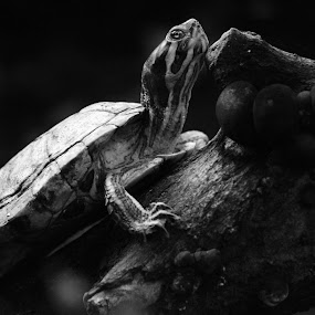 Resting by Donna Lane - Animals Reptiles ( water, up close, reptiles, nature, wildlife, amphibians,  )