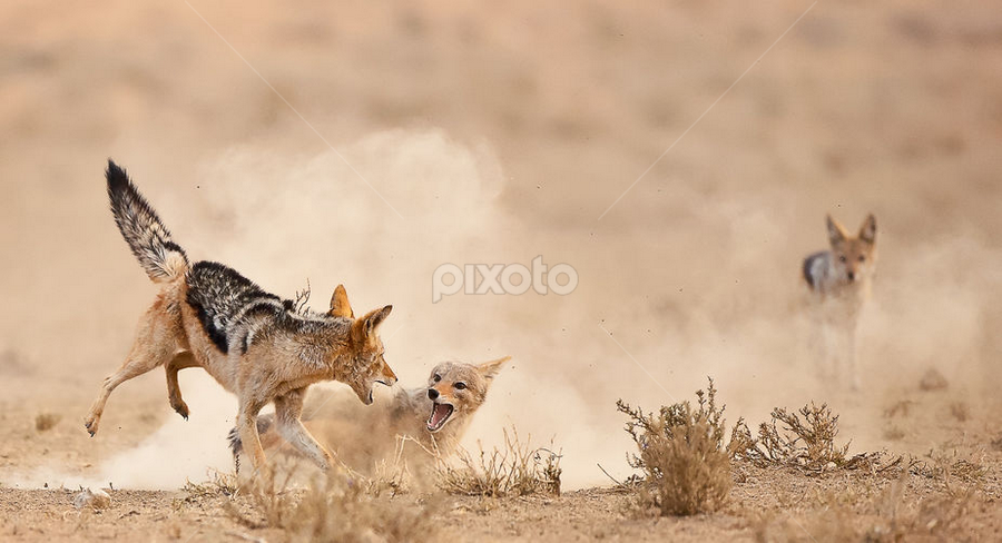 Take a Tumble by Bridgena Barnard - Animals Other Mammals ( jackal fights,  )