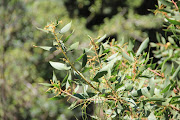 Acacia saligna (Port Jackson) is one of the invasive species which are a burden on SA's biodiversity.