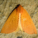 Lemon Gum Moth