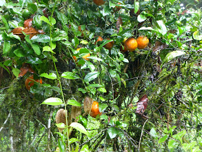 Photo: These wild oranges tasted as sour as lemons