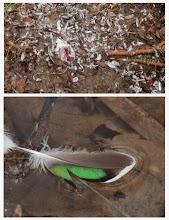 Photo: 撮影者:粕谷和夫 コガモ タイトル:コガモの散乱羽根 観察年月日:2014年2月28日 羽数:1羽 場所:宇津貫緑地 区分:事故 メッシュ:八王子6E コメント:宇津貫緑地の調整池にコガモが1羽いた。池の縁にはもう1羽の犠牲コガモがいた。何者かにやられた羽根が散乱していた。食べ残しがあったので犯人はオオタカではないと思われる。オオタカであればもっと綺麗に羽だけを残す筈である。翼鏡の羽もあったので、犠牲者はコガモであると推定した。