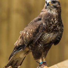 Common Buzzard by Mike Ellis - Animals Birds ( bird of prey, buzzard, falcon, raptor )