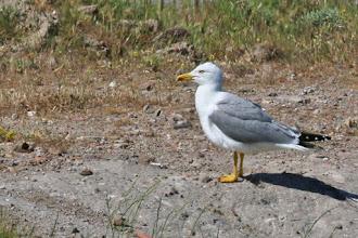Photo: Yellow-legged Gull