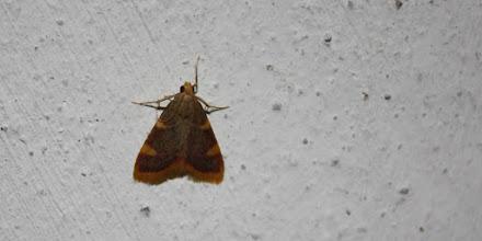 Photo: Hypsopygia costalis     Lepidoptera > Pyralidae