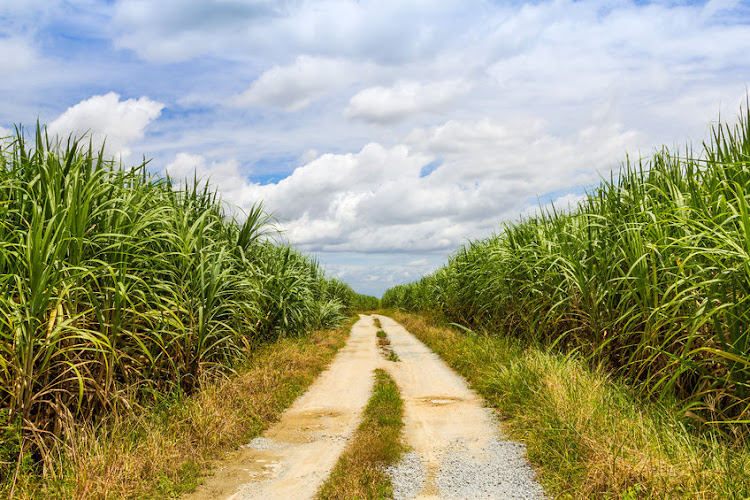 A generic image of a sugarcane field. A couple claimed to have been robbed while having sex in a sugarcane field.