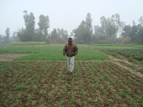 Photo: Wheat sown with SWI techniques at 28 days after sowing. 2011 [Photo provided by RB Khadka]