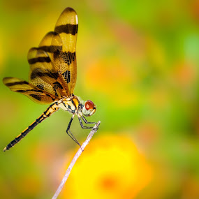Dragonfly. by Eliani Miranda - Animals Insects & Spiders ( clear, warm, colorful, green, colors, yellow, vibrant, gradonfly )