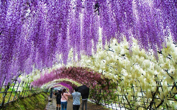 fcc286226cf Japan s Wisteria Festival May Be The Most Beautiful Place In The World  Right Now