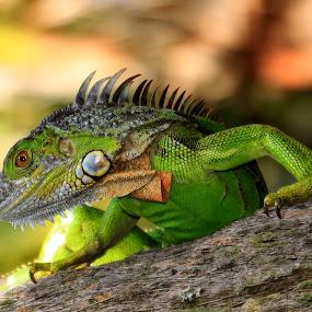 Green Giant by Rhonda Silverton - Animals Reptiles ( wetlands, green, iguana, reptile, delray beach )