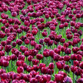 purple by Hilda van der Lee - Flowers Flower Gardens ( nature, purple, holland, tulips, springtime,  )