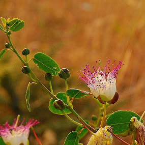 by Pixie Simona - Flowers Flowers in the Wild ( caper, flower buds, caper flower, flower, purple flower,  )