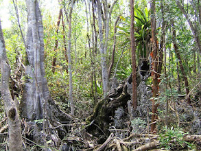 Photo: Wild Fig - Ficus aurea and fallen tree March 25, 2008