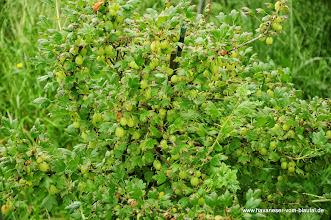 Photo: ganz schön viele Beeren, oder?