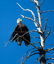 Photo: Bald eagle as seen on the Chilko River. British Columbia, Canada.