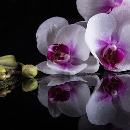 Orchid Reflection by Simon Hall - Flowers Flower Arangements